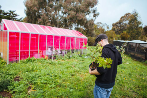 Photo of magenta greenhouse at UC Santa Cruz farm