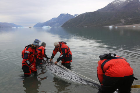 Photo of scientists measuring a narwhal