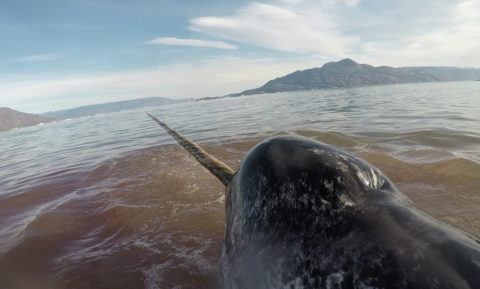 Photo of Narwhal with tusk